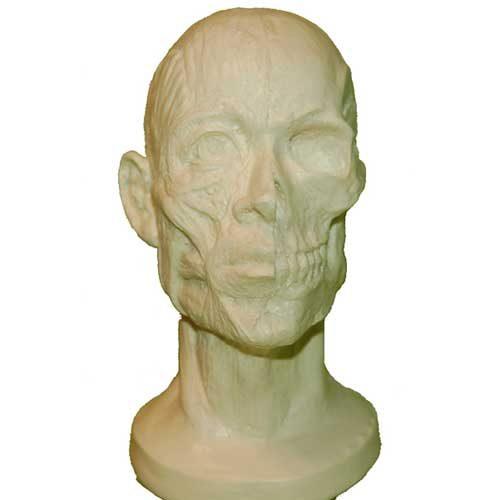 Human Skull Study Cast