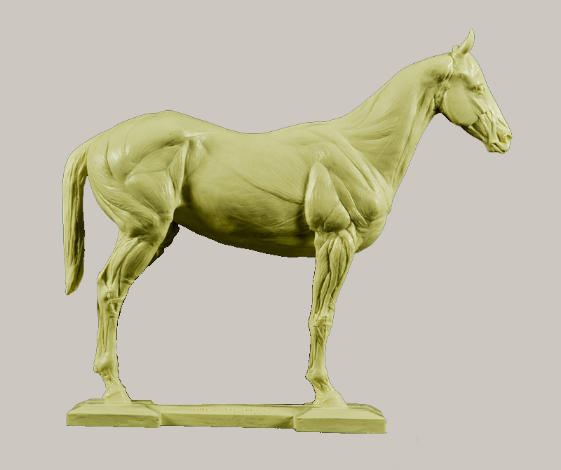Anatomy of a Horse - Study Model - Skeleton and Muscle
