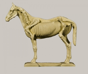 Horse Anatomy Model - Left Side - Skeletal